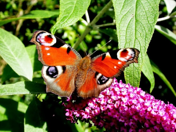 Bill Grange, Peacock Butterfly on Buddleia (2013)