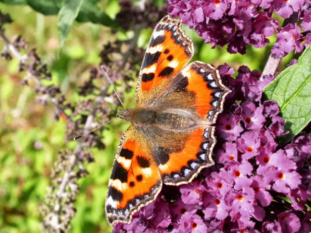Bill Grange, Small Tortoiseshell Butterfly on Buddleia (2013)