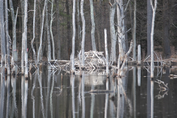 Beavers' den